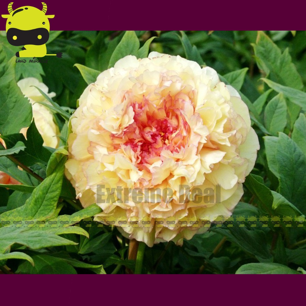 Buy Yellow Tree Peony And Get Free Shipping On Aliexpress