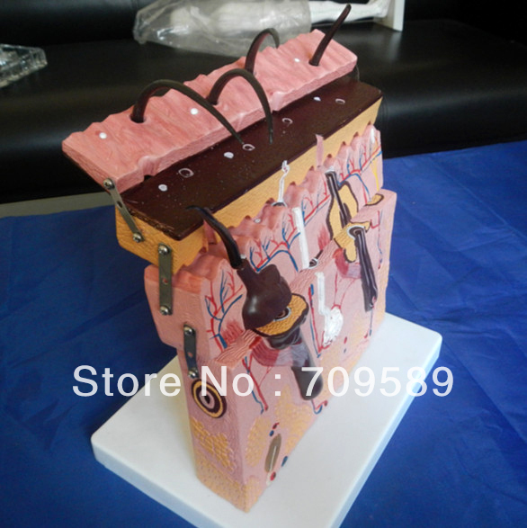 ISO Human Skin Anatomical Model, Skin Model vivid anatomical skin block model enlarged skin section model human skin model