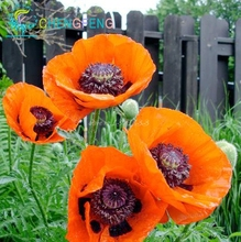 New Arrival 100 Seeds Iceland Poppy Mixed Colors Papaver Nudicaule Cut Flower Seeds Bonsai Plant Diy Home Garden Free Shipping