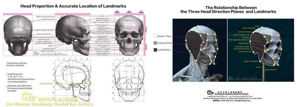 Anatomy Model For Artists Mini Skull Modelanatomical Anatomy