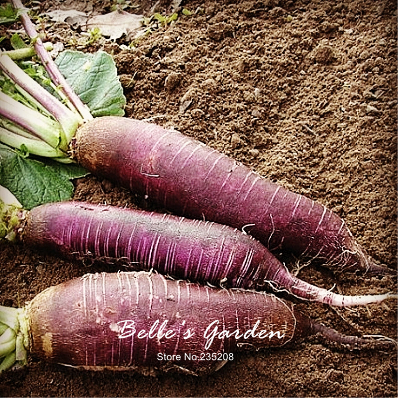 100pcs Heirloom Purple Violet De Gournay Radish Seeds Imported Rare Oganic Violet Radish Home Garden Fruit Vegetable Seeds