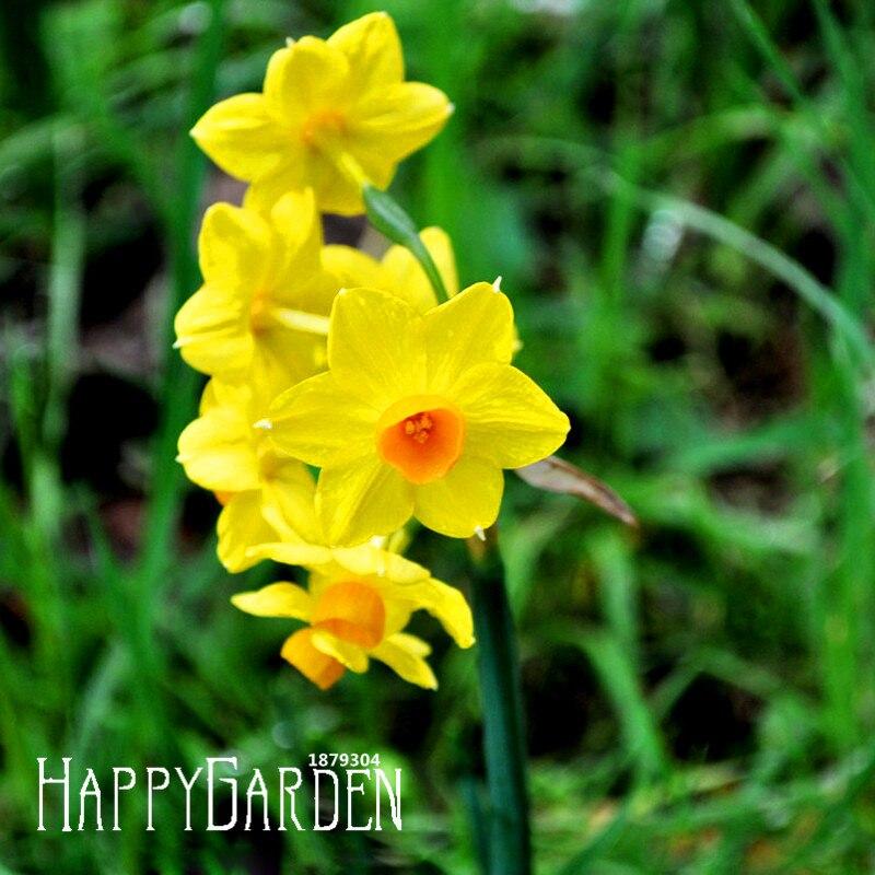 Best-Selling!Yellow Daffodils Flowering Plants Daffodil
