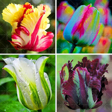 Фотография 100PCS Tulip seeds,Tulip agesneriana,aromatic Flower seeds potted plants Most Beautiful Colorful Tulip Plants Perennial Garden