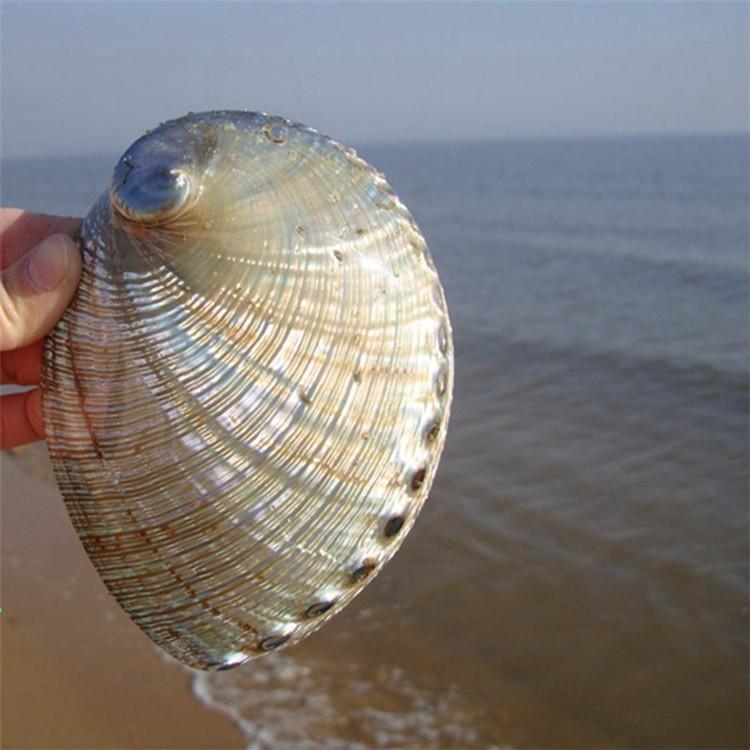 1PCS 12-14cm Haliotis Roei Haliotis Ovina Ass\'s Ear Abalone Super Natural Conch Sea Shell Home Wedding Decoration Natural Crafts3