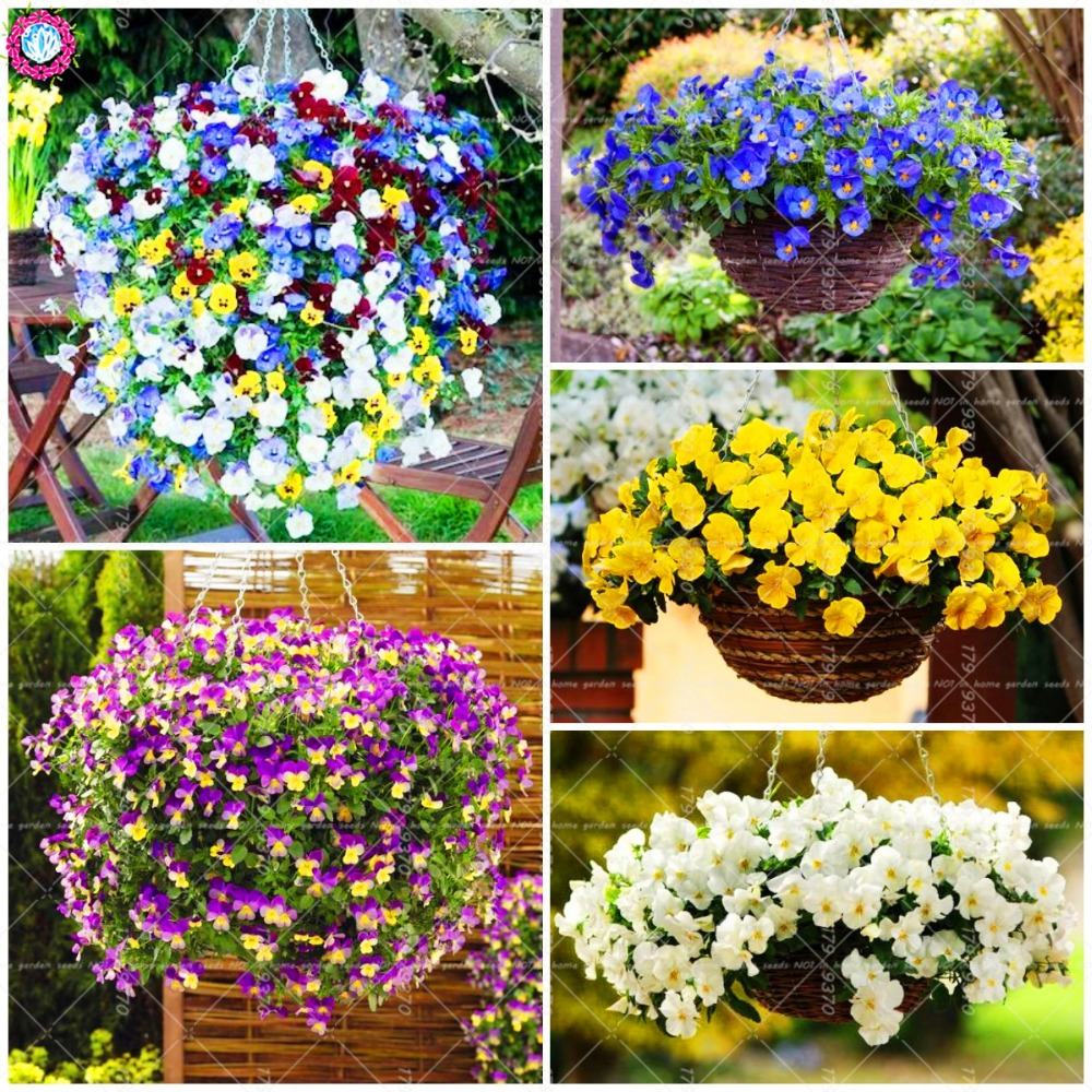 Decorate, House, Pansy, Viola, Plants, Herb