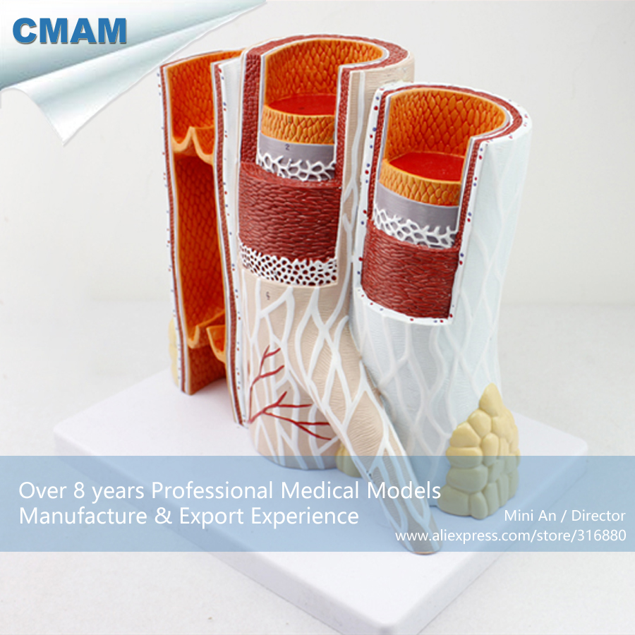12492 CMAM-HEART16  Artery & Vein Structure Anatomical Model for Medical Science 12461 cmam anatomy23 breast cancer cross section training manikin model medical science educational teaching anatomical models