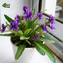 100pcs/pack chinese violet seeds beautiful herba violae flower viola philippica sementes de flores for home garden bonsai