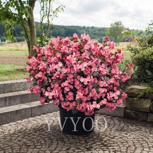 50pcs / bag Begonia Bonsai, mixed color bonsai flower  plant potted family garden balcony U10