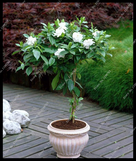 online buy wholesale jasmine shrub from china jasmine shrub wholesalers. Black Bedroom Furniture Sets. Home Design Ideas
