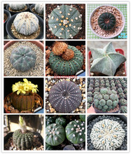 50pcs mix Frailea asterioides Cactus Bonsai Plants Colorful succulent seedlings Flower Perennial Planting Potted for Home Garden