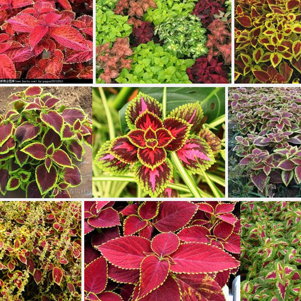 Hot Ing Common Graden Coleus Outdoor Potted Flowering Plant Bonsai Flowerbed Seeds Original Package Seed About 100 Particles In From Home