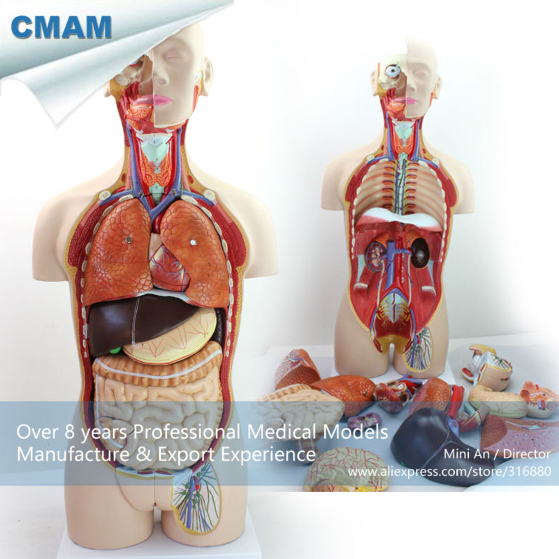 CMAM-TORSO02 Medical Dual-Sex 85cm 27-parts Torso Model with Opened Back, Human Anatomy Model for Medical Science cmam urology06 dual sex human urinary system in situ male and female bladder interchangeable