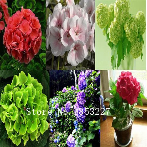 hydrangea semilla comn balcn en maceta flores semillas hydrangea variedades tienen colores