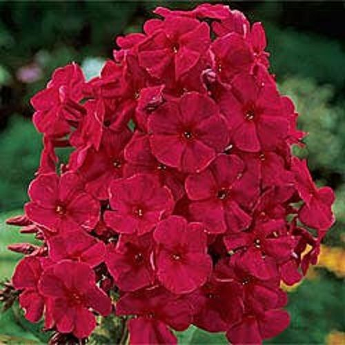 new seeds/pack fragrant red phlox flower seeds / shade, Natural flower