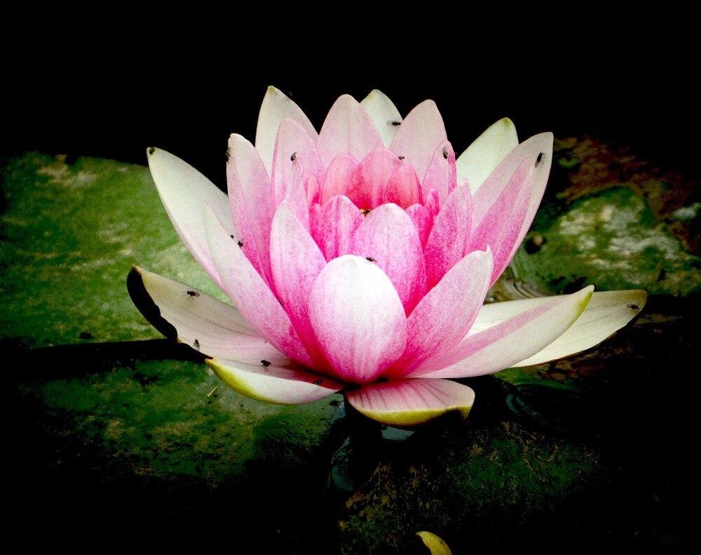 5 Pack Helena Rubinstein Red Lotus Flower Water Lily Flower