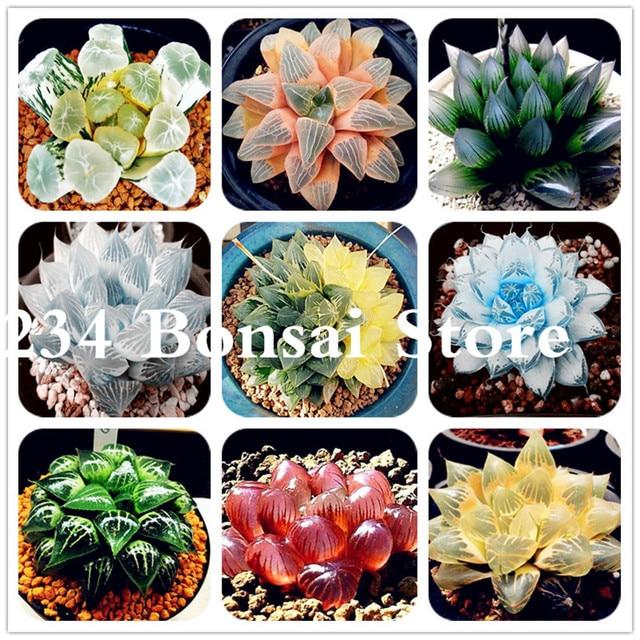 100 pz Reale Succulente pianta Perenne Angiosperm di Piante da Fiore, Pseudotrun