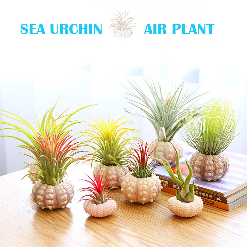 Free Shipping(1 set/lot)Natural Sea Urchin Air Plant Lazy Soilless Plant Creative Potted plant Home&Coastal Decor