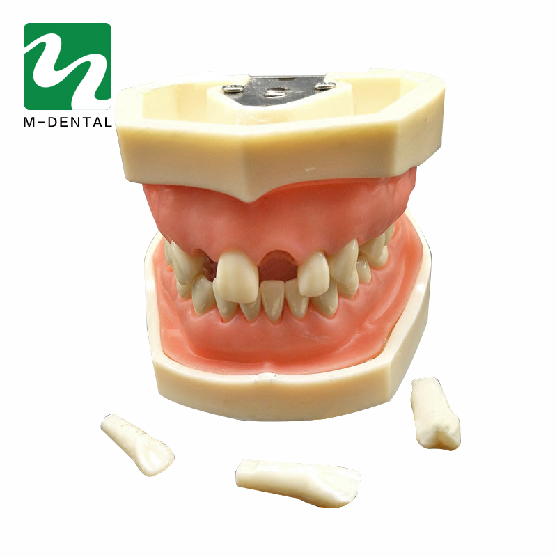 Dental Removable Standard Teeth Tooth Model With 28pcs teeth For Teaching Simulation Model lower molar with one root model molar teeth model dental model