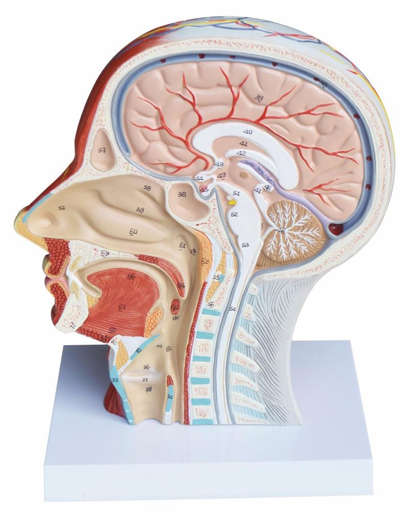 Groß Zahn Kopf Und Hals Anatomie Bilder - Physiologie Von ...