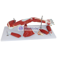 HeyModel Upper Extremity Muscle with Vascular Nerve Arm Muscle Model Human Movement System Muscle Anatomy Model