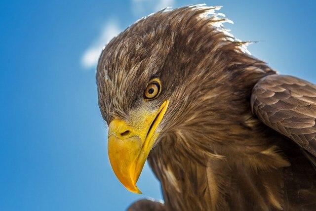 Dekoration adler vogel kopf schnabel tier porträt Seide Stoff Plakat ...