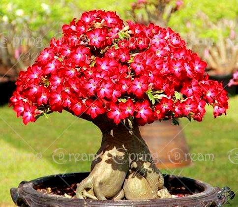 2 pcs bag desert rose flower adenium obesum bonsai flower double petals potted plant for home garden 100 true in bonsai from home garden on
