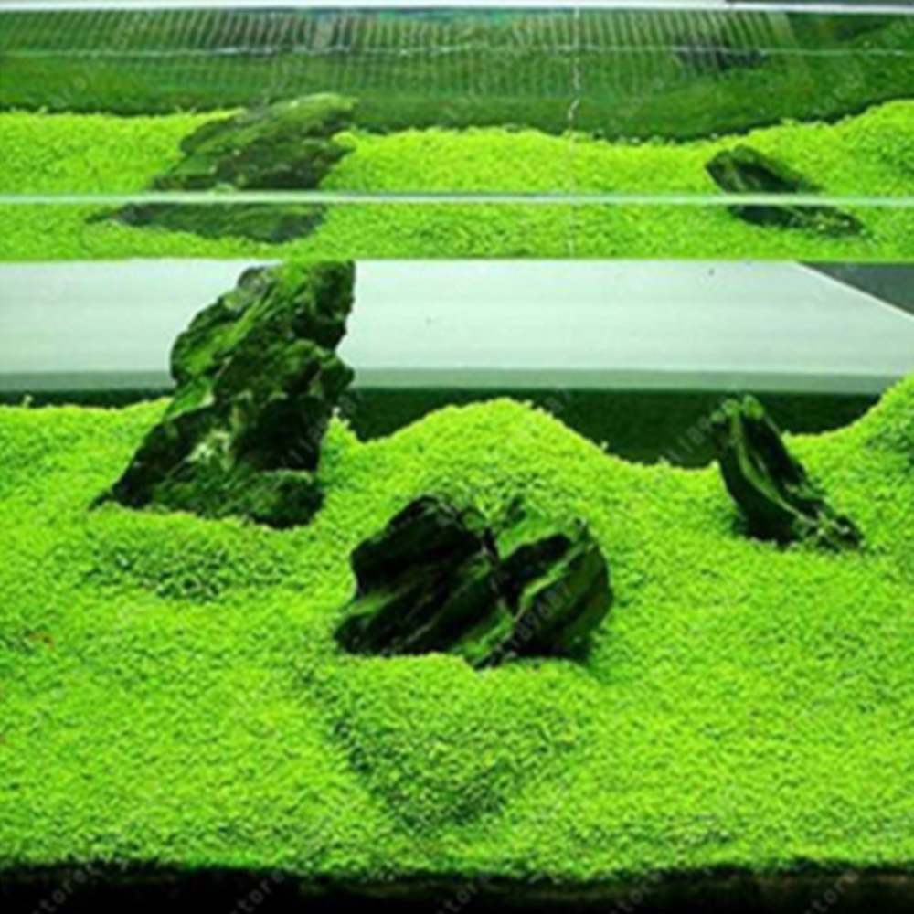 Aquarium Glossostigma Hemianthus Callitrichoides Seeds Water Grass Live Plant Fish Tank Decoration Landscape Ornament
