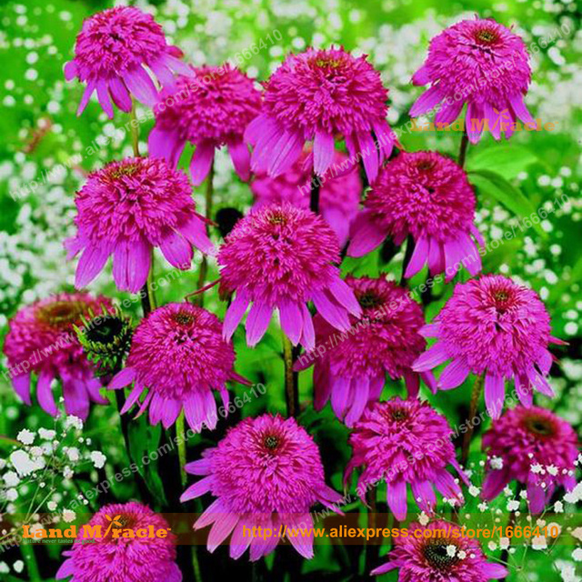 100 real bushs purple coneflower flower seeds 20 seedspack 100 real bushs purple coneflower flower seeds 20 seedspack echinacea purpurea mightylinksfo