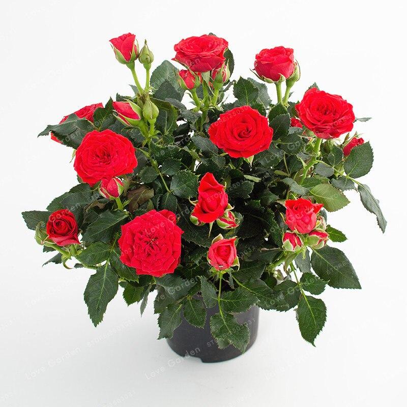 100 PcsBag Miniature Rose Plant Seeds Plantena