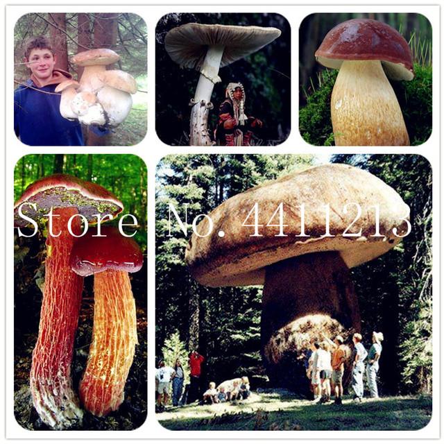 Edible Mushroom Bonsai Seeds (600 Pieces)
