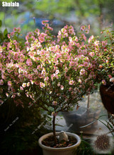 Plantas Hibisco Resistentes - Compra lotes baratos de Plantas ...