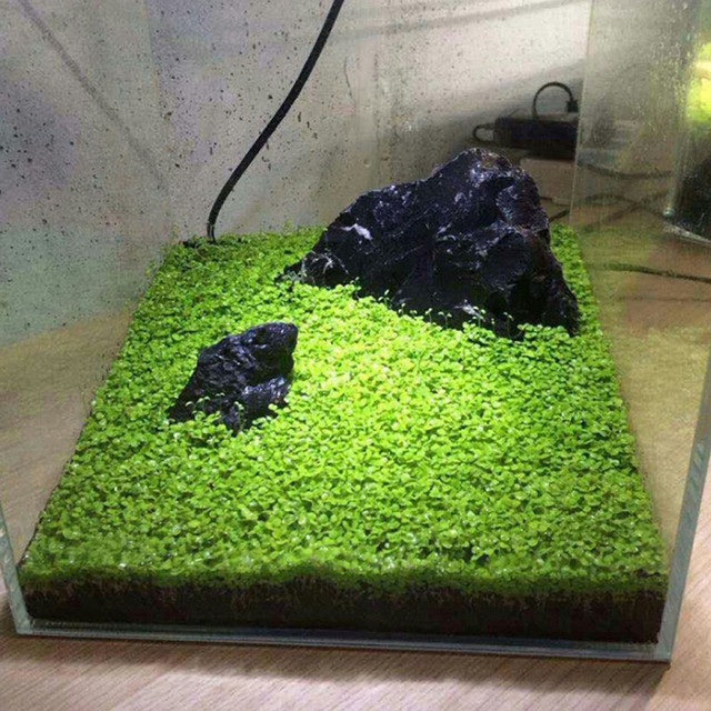 Aquarium Plant Seeds - Waterscape Fish Tank Decoration  4