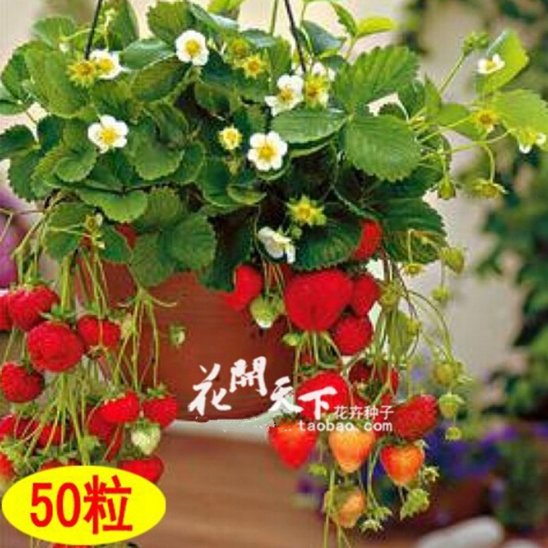 Four Seasons potted strawberry seeds perennial flower P