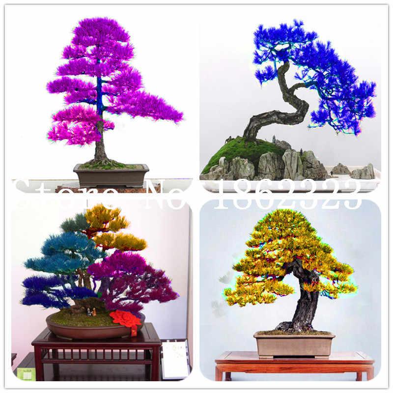 מכירה! 10 Pcs נדיר צבע ארז יפני בונסאי עץ Bonsa קל צמח בונסאי בית גן קישוט Miniascape עציץ