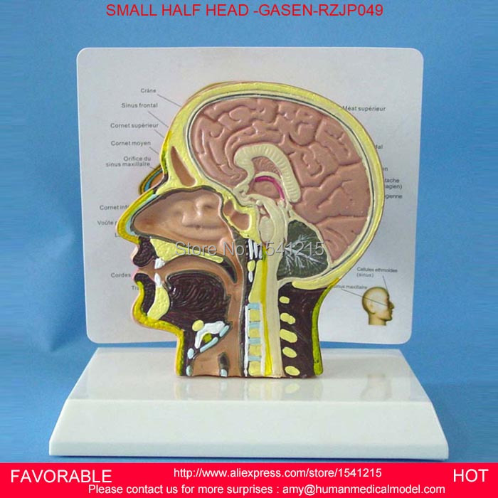HUMAN BRAIN MODEL , ANATOMY MODELS ,BRAIN ANATOMICAL MODEL ENVIRONMENTAL PVCMATERIAL MEDICAL ANATOMICAL TORSO GASEN-RZJP049 42cm male 13 torso model torso anatomical model of medical biological teaching aids equipment