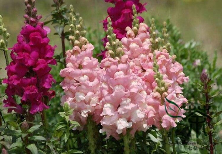 Blooming Plant Antirrhinum Majus For Planting 500pcs Perennial