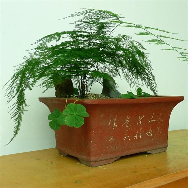 10 graines En Pot graines de fleurs asparagus Bambou Bonsaï Plantes ...