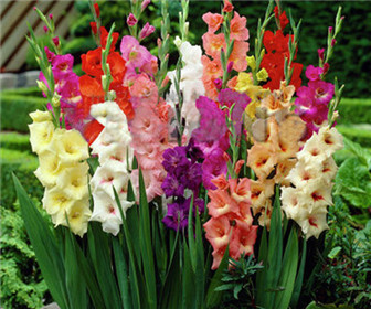 100/bag Different Perennial Gladiolus Flower Seeds, Rare Sword Lily Seeds very beautoful ...