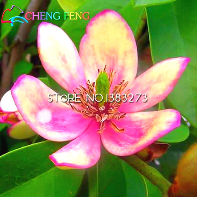 Hot Sale 30 Pcs Pink Magnolia Seeds Rare Japan Magnolia Flowers