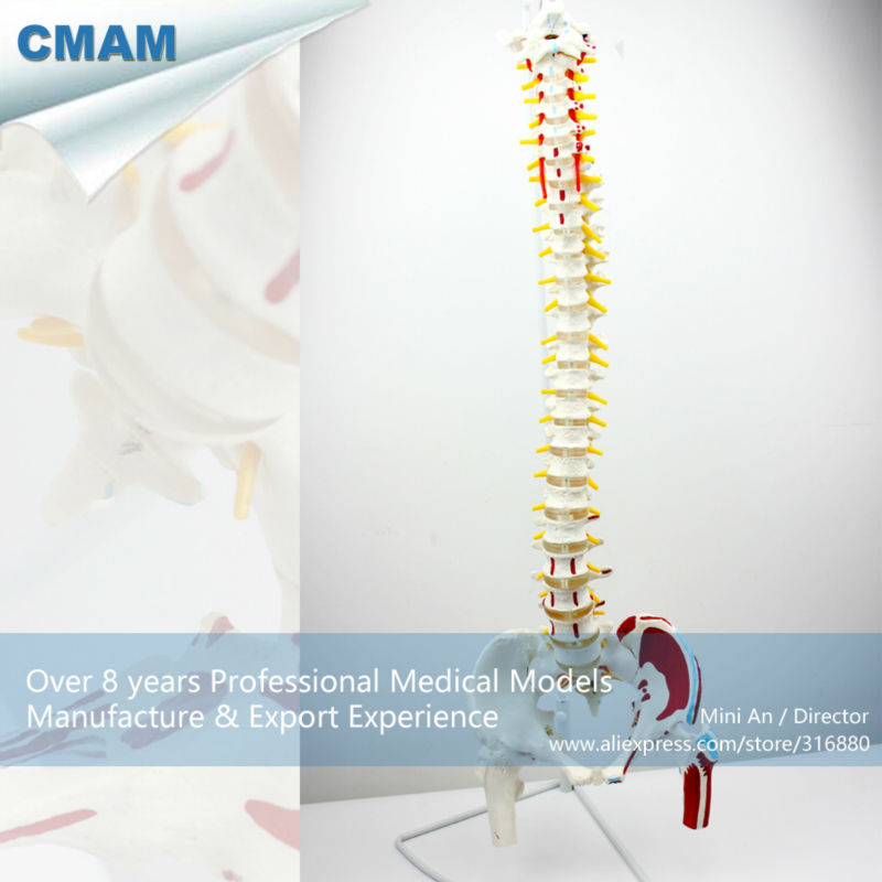 CMAM-SPINE05-1 Human Flexible Spine with femur heads and painted muscles, Life-Size Spine Models spine lady 357 40