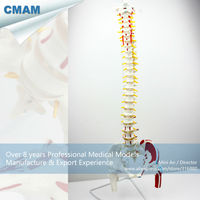 CMAM Human Flexible Spine With Femur Heads And Painted Muscles Spine Vertebrae Models Life Size