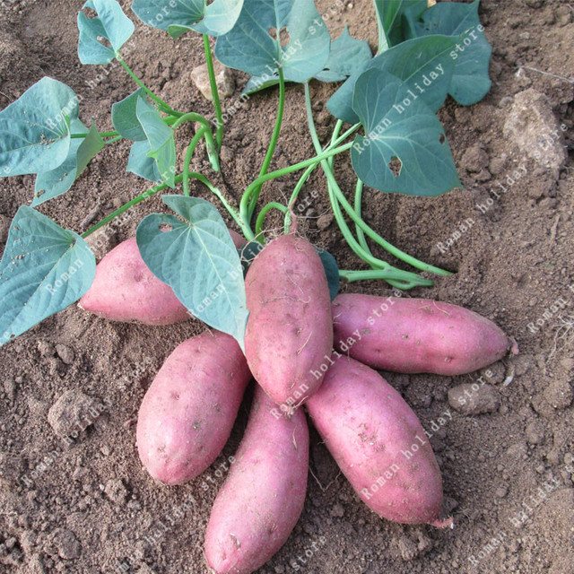 Us 0 5 25 Off Zlking 100 Pcs Chinese Potato Organic Vegetables Fruit Sweet Healthy Kitchen Cooking Food Garden Plant Home Garden Bonsai In Bonsai