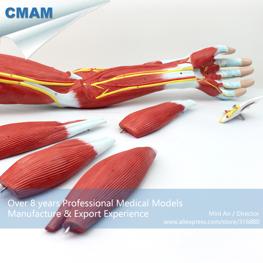 CMAM-MUSCLE03 Anatomical Vascular Never Model of Upper Limb Muscle , Medical Science Educational Teaching Anatomical Models joshua boucher regulation of vascular smooth muscle phenotype by notch signaling