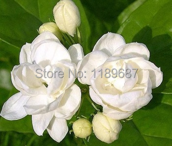 Fragrant Plant Arabian Jasmine Bonsai Free Shipping 20pcs/bag White Jasmine Flower High Quality 98% Germination Rate