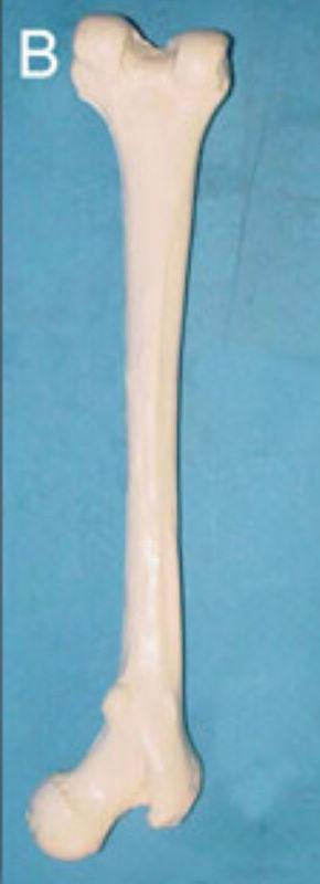 human Femur model Bones skeleton Medical Teaching model free shipping