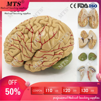 Brain anatomical model brainstem brain structure relationship anatomy teaching model medical teaching aid model of the uterus genital anatomy model family planning teaching medical model female vagina and uterus model gasen sz023