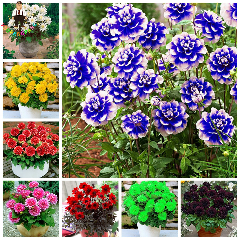 50 Pcs/Bag Dahlia Flower Dahlia Seeds Charming Bonsai Flower Seeds (Not Dahlia Bulbs) High Germination Home Garden Potted Plant