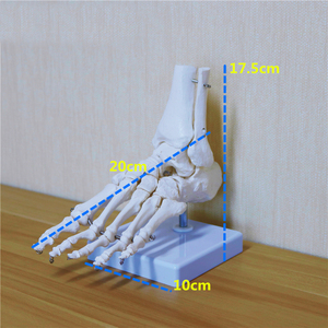 Image 2 - Flexible Human Foot Bone Model Foot Sole Joints of Foot Ankle Tibia and Fibula Foot Model of Orthopedics Teaching for Medical
