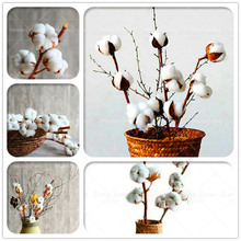 3e4abceb3d826 10 sztuk partia białe bawełniane rośliny Bonsai kwiat rośliny sadzenia  doniczkowe rolnicze Gossypium tkanina bawełniana DIY dla .