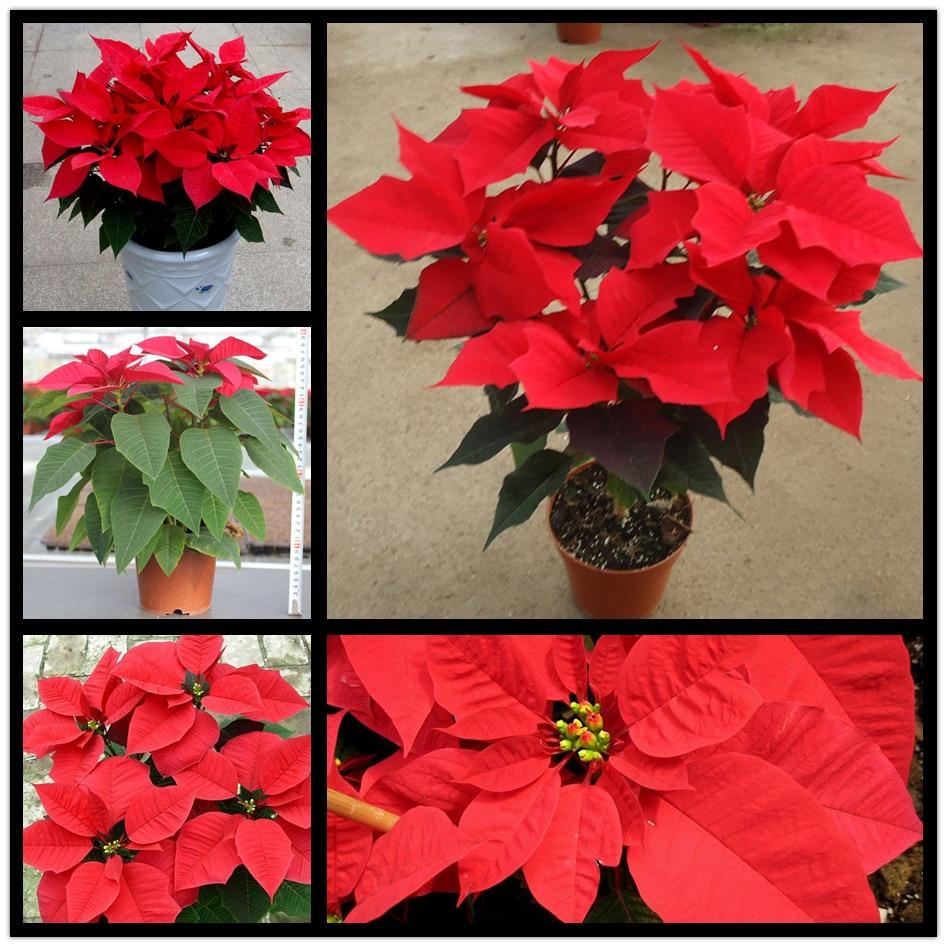 Pot Euphorbia Pulcherrima Willd Benih 10 Biji Bag Bunga Poinsettia Natal Untuk Rumah Hijau Sepanjang Tahun Di Bonsai Dari Taman